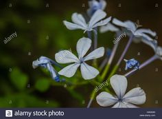 Download this stock image: blue plumbago - H4KM3N from Alamy's library of millions of high resolution stock photos, illustrations and vectors.