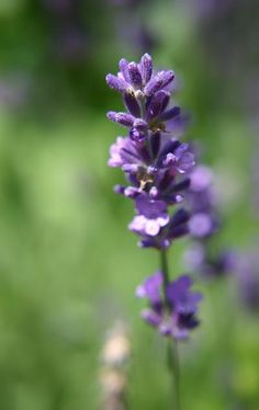 lavender oil and tea tree oil for facial hair