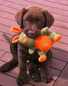 Chocolate Labrador..