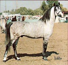 *Gedymin (Gwarny by Amurath Sahib x Gastronomia by Marabut)  former chief stallion - Michelow (Poland)