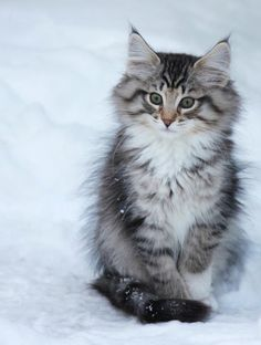 """It is with the approach of Winter that cats...wear their richest fur and assume an air of sumptuous and delightful opulence."" --Peter Loti"