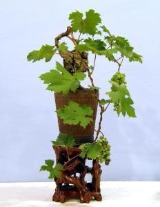 Vitis_vinifera__Cabernet.  #Bonsai Society Exhibit 2010.