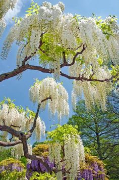 White Wisteria Blooms at Longwood Gardens - need this for my wedding Trees And Shrubs, Flowering Trees, Trees To Plant, White Wisteria, Wisteria Garden, Wisteria Plant, Dame Nature, Longwood Gardens, White Gardens