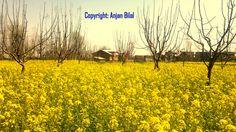 "April's Fall in Kashmir  ""Mustard Flowers  Glory"""