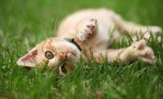 What's the safest flea treatment for your cat? Find out what you should look for and how to choose a safe flea treatment for cats. Cool Cats, Gatos Cool, Cat Allergies, Flea Treatment, Matou, Curious Cat, Outdoor Cats, Cat Colors, Cat Photography