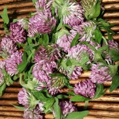 Collecting red clover to tincture today. I love this for helping keep the blood clean. It is also great to add to children's tonics. It is mild to the taste buds. #foraging #herbalremedies #diy #myherbalstudies #simplyhealthyhome #wildcrafting