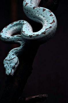 Looks like a tree python.... or a blood python