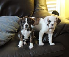 Boston Terrier & King Charles Cavalier mix.....sisters!