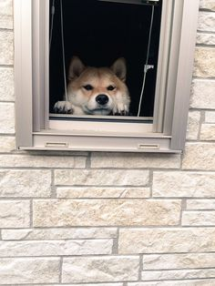 Shiba Inu patiently waiting for it s owner to return home. 4b84bb038fe4