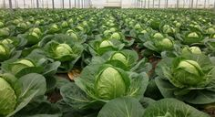 When to plant cabbage for seedlings? Grape Vineyard, Help Losing Weight, Lose Weight, Small Farm, Edible Garden, Garden Projects, Gardening Tips, Grass, Cabbage