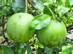 Sweet lime fruit from Sriniket Dindori. Comes mostly during the rainy season from July and August. Regular intake of the mosambi juice improves the function of the heart, which ensures proper blood circulation. Sweet lemon juice is good for the skin and it will assist to do away with pigmentation, spots and blemishes.