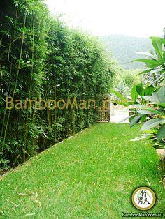 Textilis Gracilis hedge