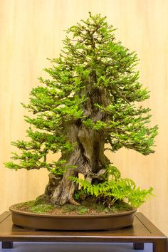 Grow a bonsai     Coastal redwood if I am not mistaken. Lovely proportions.