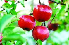 Good article for self education on fruit tree gardening for the novice like myself.