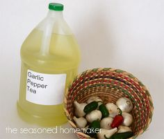 Are you looking for a natural and organic pesticide to get rid of garden insects? Garlic Pepper Tea a safe and natural way to kill insects in your garden. This natural pesticide recipe works quickly and is safe for pets and people.