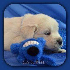Sleepy Time! English Golden Retriever Puppy <3