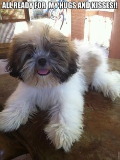 """Check out our web site for even more info on """"shih Tzu dogs"""". It is an excellent spot for more information. Puppies And Kitties, Teacup Puppies, Cute Puppies, Cute Dogs, Doggies, Bear Dogs, Shih Tzu Puppy, Shih Tzus, Dog Love"""