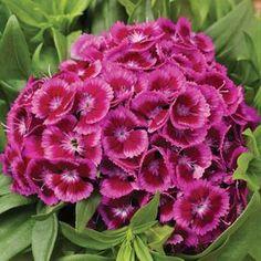 Borstnejlika, Dianthus barbatus. Blommar juni-aug, gillar sol. Blir ca 40 cm hög. Tvåårig.