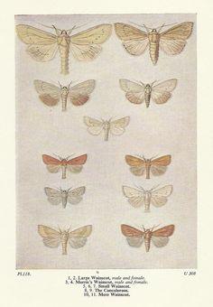 Butterflies Butterfly Wainscot Concolorous Mere Entomology Colour Print 1961