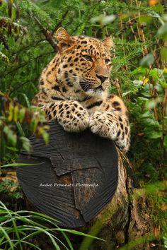 Beautiful leopard resting on a log.