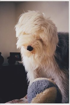 old english sheepdog photo | Michelle-old english sheepdog. | Old English sheepdogs