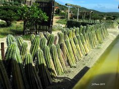 When your really don't want someone crossing your property line!  Cactus fence