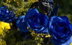 Black Roses With Blue Roses | roses photo some humans love to give blue roses use this blue roses ...