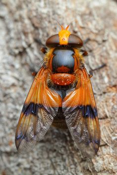 Hoverfly-Volucella inflata The colorful hoverflyVolucella inflata(Diptera - Syrphidae) is an European species instantlyrecognizableby the deep orange markings on the abdomen. Unlike other species of Volucellawhose larvae live in the nests of bees and wasps,the larvae of V. inflata inhabit sap runs, and the adults are regular flower visitors. References: [1] - [2] Photo credit:©Nikola Rahmé| Locality: not indicated (2014)