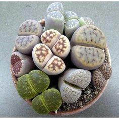 Living stones (Lithops) are unusual succulents that are also called flowering stones or pebble plants. They can live for up to 50 years and rarely need to be re-potted. Stunning daisy-like blooms appear in winter, followed by a period of dormancy. Living stones are easy to grow - just don't overwater them!