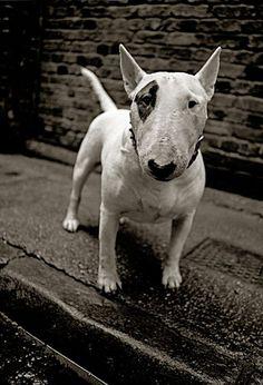 Dog. E.1 John Claridge...he Looks like Bill Sykes`s dog Bullseye.