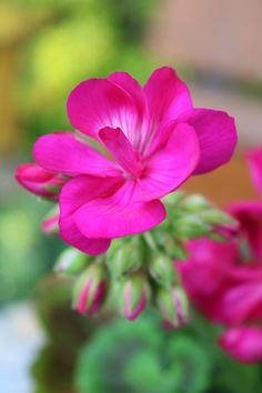 "boschintegral-photo: ""Geranium """