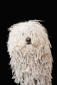 View top-quality stock photos of Puli Dog. Mop Dog, Dog Cat, Cute Cats And Dogs, Dogs And Puppies, Doggies, Pumi Dog, Hungarian Dog, Komondor, Bearded Collie