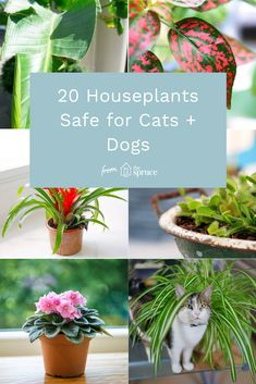 It can be difficult to keep a houseplant away from a pet with a determination to chew, so it's up to us to ensure that any plants we cultivate in the home are safe and non-toxic to cats and dogs. Houseplants Safe For Cats, Cat Safe Plants, Cat Plants, Inside Plants, Plants Toxic To Cats, Indoor Trees, Best Indoor Plants, Cat Friendly Plants, Cat Friendly Home