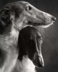 Dog Photos, Dog Pictures, Beautiful Dogs, Animals Beautiful, Beautiful Pictures, I Love Dogs, Cute Dogs, Magyar Agar, Russian Wolfhound