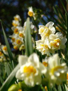 Narcissus, Kanagawa, Japan