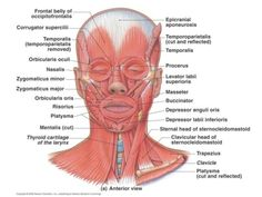 lecture-11-muscles-of-the-body-23-638.jpg 638×479 pixels