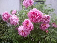 Paeonia Suffruticosa.... I want to plant some of these! But dif colors... like oranges...