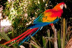 Scarlet Macaws were brought to India from South America as part of the prince's zoo.