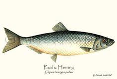 Pacific Herring fish illustration, by Artist Brenda Guild Gillespie. Giclee Art Print, $19.95