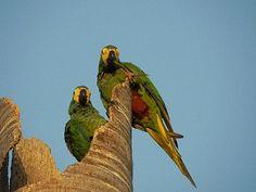 Guacamaya Barriga Roja, Orthopsittaca manilata, Red-Bellied Macaw