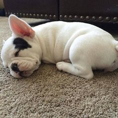 Sleeping French Bulldog Puppy,  by @coastlines_finest on instagram