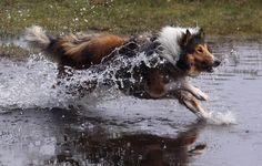 ` Rough Collie, Collie Dog, Best Dog Breeds, Best Dogs, Dog Bearding, Collie Breeds, Miniature American Shepherd, Dog List, Herding Dogs