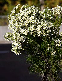 Table setting - Waxflower-white