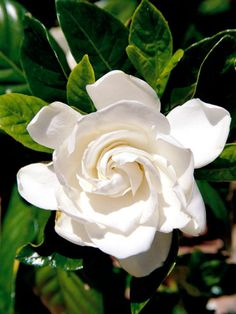 Gardenia grows best in moist, well-drained soil rich in organic matter and with an acidic pH. The plant will often develop yellow leaves if the soil isn't acidic enough.  Light: Shade / Zones: 8-10 / Plant Height: To 20 feet tall / Plant Width:  To 10 feet wide