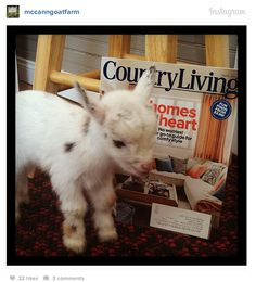 How cute is baby goat Einstein posing with our March issue?! #countryliving baby sheep goats, baby goats, babi goat