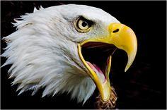 Bald eagle calling  http://www.whatdigitalcamera.com/gallery/files/4/1/8/8/calling_bald_eagle_original.jpg