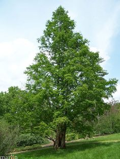 the Dawn Redwood was thought to have gone extinct about 20 million years ago, but was then found growing in profusion in Central China in 1944. Well adapted to many areas of eastern North America, and relatively disease-free, the dawn-redwood is becoming a popular, fast-growing shade and specimen tree. USDA hardiness zones: 5 through 8