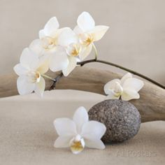 White orchid Prints by Chatelain at AllPosters.com