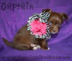 Chihuahua puppies for sale, chihuahua for sale, akc chihuahua, chihuahua breeder, AKC breeder, applehead chihuahua puppies for sale, longhaired chihuahuas for sale, cute puppy, cute chihuahua, chihuahua clothes www.teeniechihuahuas.com