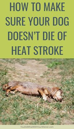As dog owners, we like to think we are always being careful and bad things won't happen to our dogs. But even if you think you know how to avoid situations where your dog may overheat, and what to do about it if they do, your dog could still get sick from heatsroke. The best defense is memorizing the signs of heat stroke in dogs listed in this article so you can catch it right away. Heat Stroke In Dogs, Dog In Heat, Dachshund Breed, Dachshund Love, Normal Body Temperature, Emergency Vet, Dog Died, Dog Activities, Working Dogs